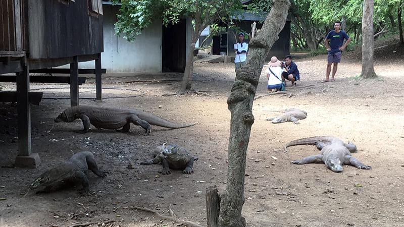 dragons de komodo indonesie